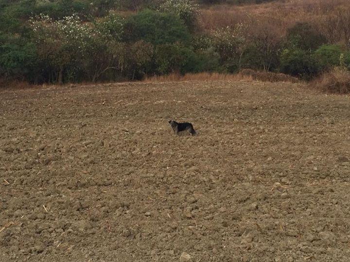 Zelda loves the fallow corn field 🐶
